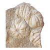 Jurassic period Fossil  Rare size of Cnidarians Coelenterates ,Clypeus ploti