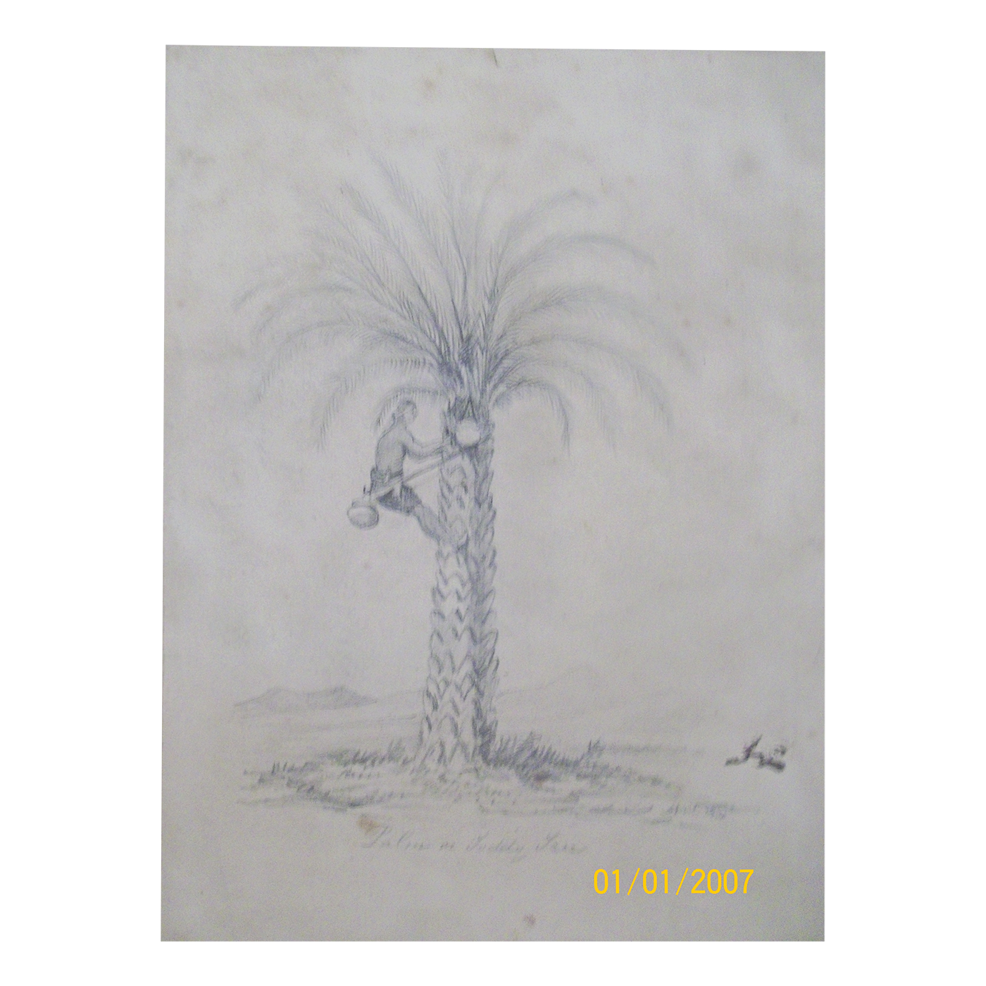 English School drawing of Palm or Toddy Tree ,c 1891